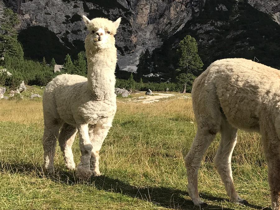 Alpaca Vacanze Estive sulle Dolomiti